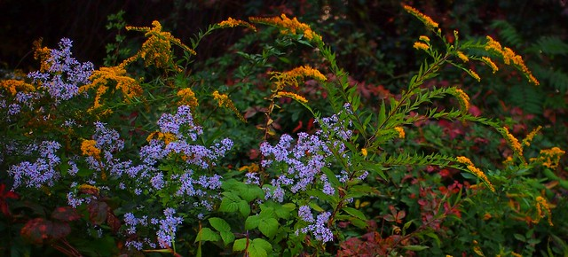 Autumn asters and goldenrod