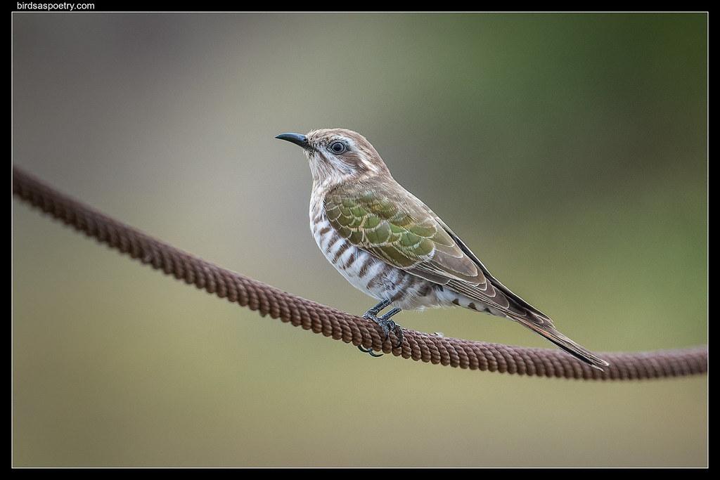Horsfields Bronze Cuckoo: