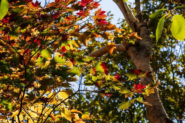 ハウチワカエデかな・・・この辺りの紅葉はこれから