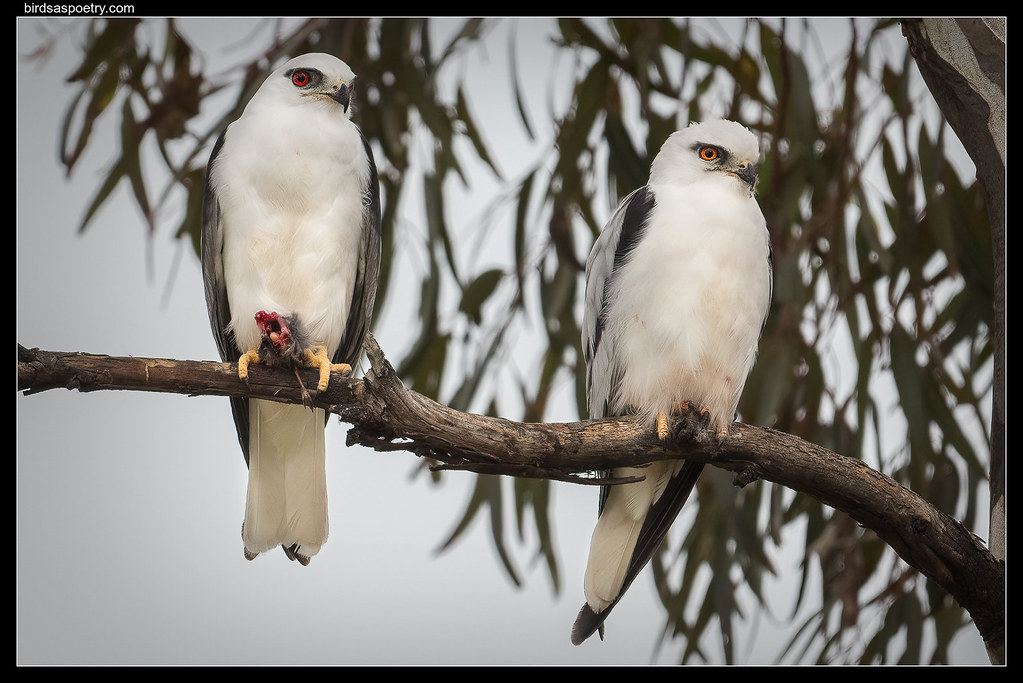 Black-shouldered Kite: Pair Bonding