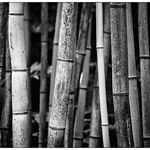 Bamboo B&W