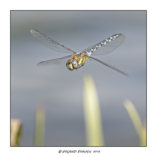Migrant Hawker Dragonfly in the reeds