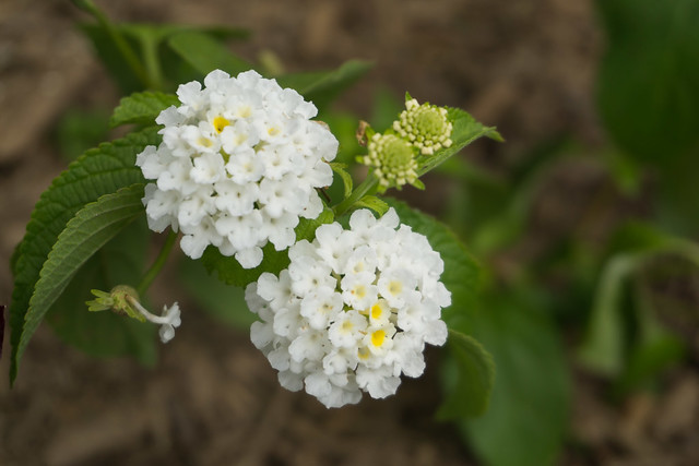 Tiny White Flowers........[in Explore]