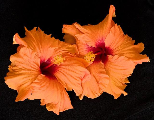 Two orange hibiscus