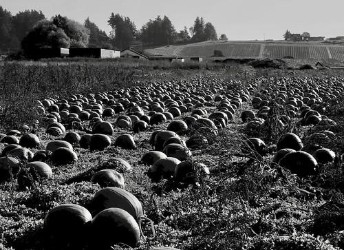 pumpkin field farm vancouverisland britishcolumbia canon 6d blackandwhite monochrome landscape