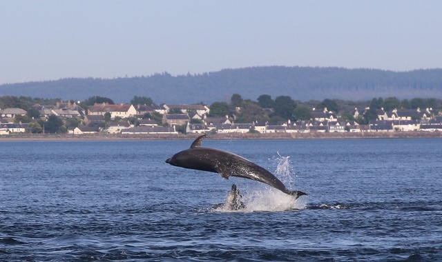Dolphins Jumping, Scotland.