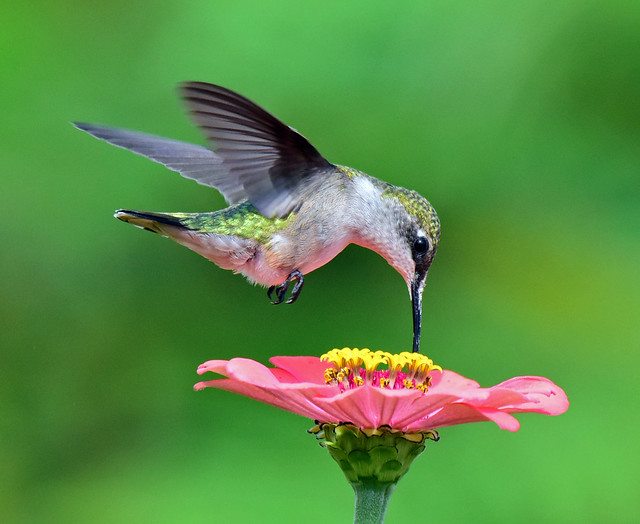 810_6210. Ruby-throated Hummingbird- explored 10-11-19