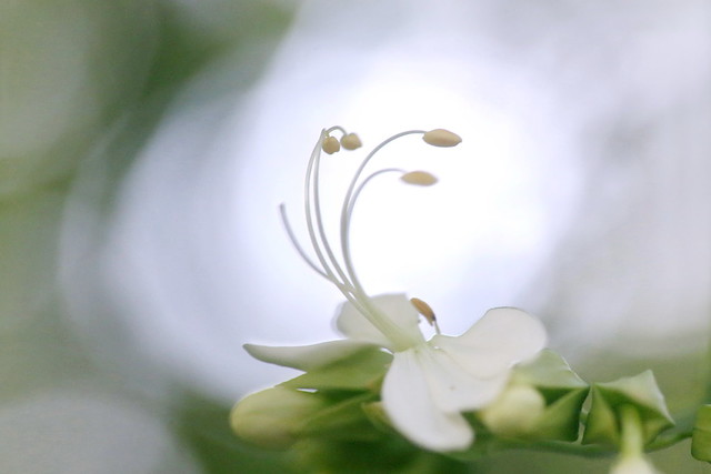 White Clerodendrum Flower in Backlight