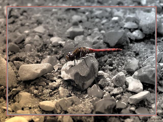 Eine Libelle-1
