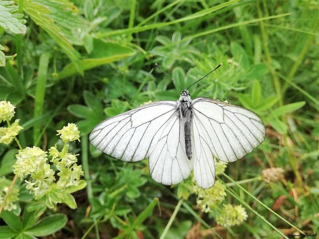 Butterfly 1882