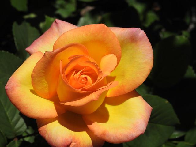 Friday's Rose