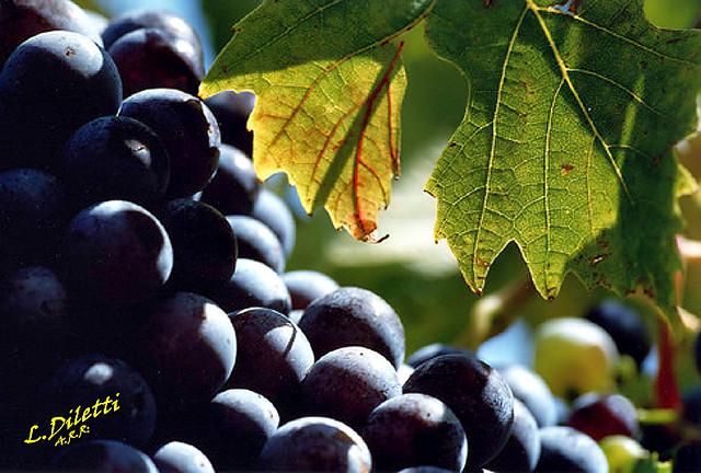 <<Uva>> <<grape>>