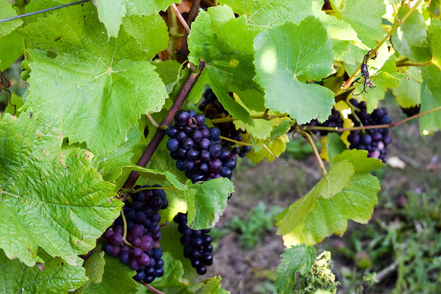Grapes at Squerryes Vineyard and Winery