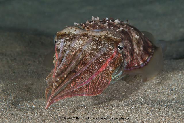 Pharaoh cuttlefish - Okinawa, Japan