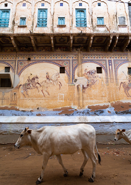 Cow passing by an old haveli with lavishly painted walls, Rajasthan, Nawalgarh, India