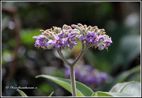 wildflower flowers avalanche ooty nilgiris canoneos6dmarkii tamronef28300mm tamilnadu india