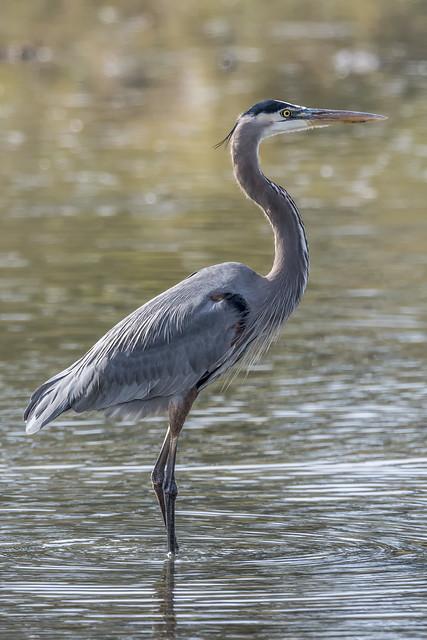 Great Blue Heron ©