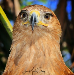 Tawny Eagle - Birds & Exotics - Luis Carballo
