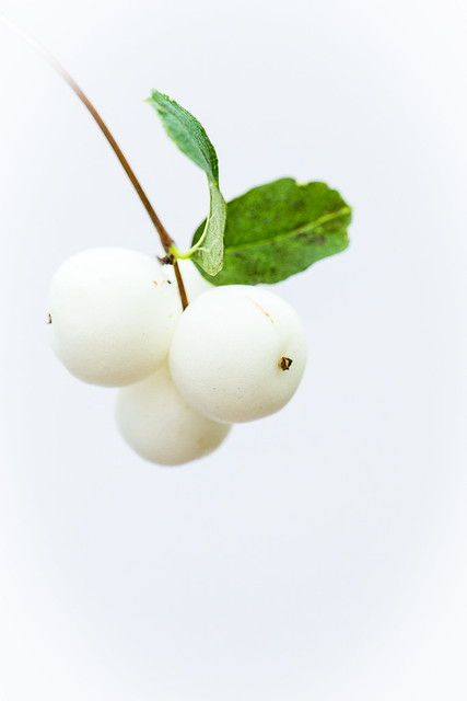 snowberries on white