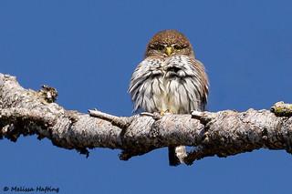 Northern Pygmy-Owl (Glaucidium californicum) - Lower Mainland, BC