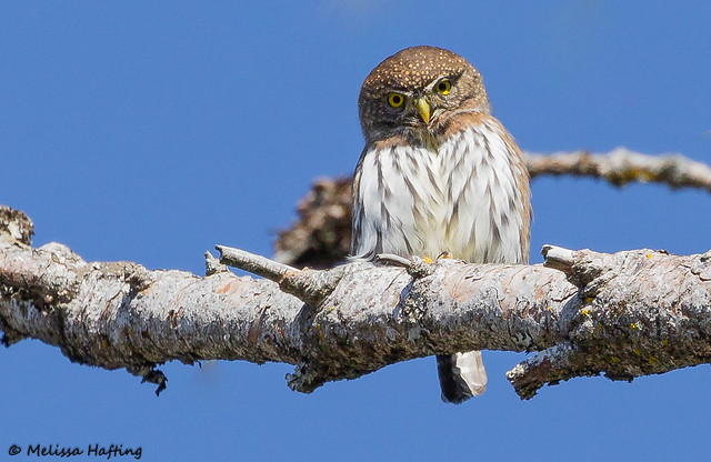 Northern Pygmy-Owl (Glaucidium californicum) - Lower Mainland, BC