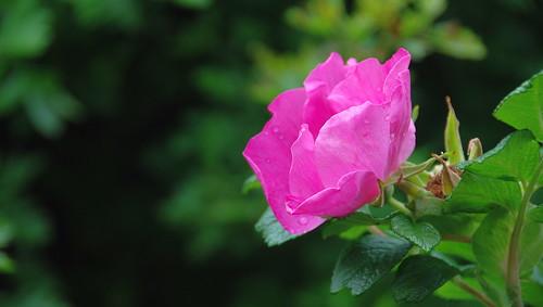 rosarugosa rose flower pink garden summer familyrosaceae petals contactgroups thegalaxy photosandcalendar thebestofmimamorsgroups