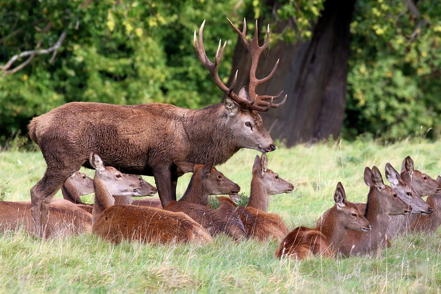 Red Deer Stag and hareem