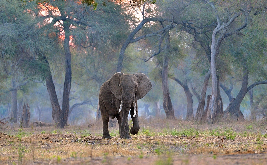 Zimbabwe, ellie in the forest