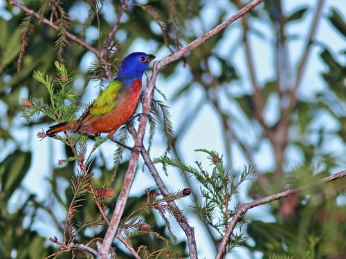 Painted Bunting male 2-20191011