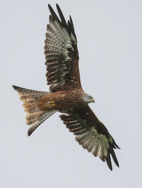 Red Kite  - (Milvus milvus) 'Z' for zoom