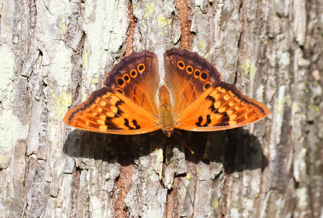 TAWNY EMPEROR - A butterfly I find in wooded creek bottoms and swamps; this is the most beautiful Tawny I've seen. Lakeland, Florida