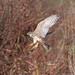 Falco smeriglio in volo