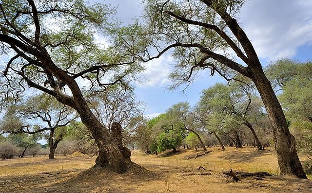 Zimbabwe, twisted trees