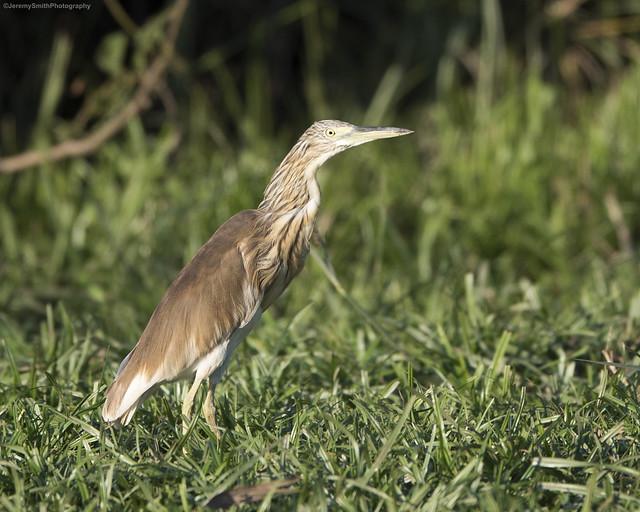 Scuacco Heron, Ardeola ralloides, Msuna Fishing resort, Zambezi River, Zimbabwe
