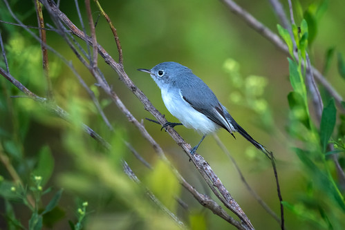 Blue-gray gnatcatcher at Powell Creek Preserve in Southwest Florida
