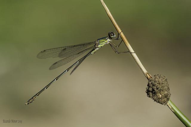 Chalcolestes viridis. Male