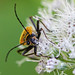 Soldier Beetle Enjoying the Pollen