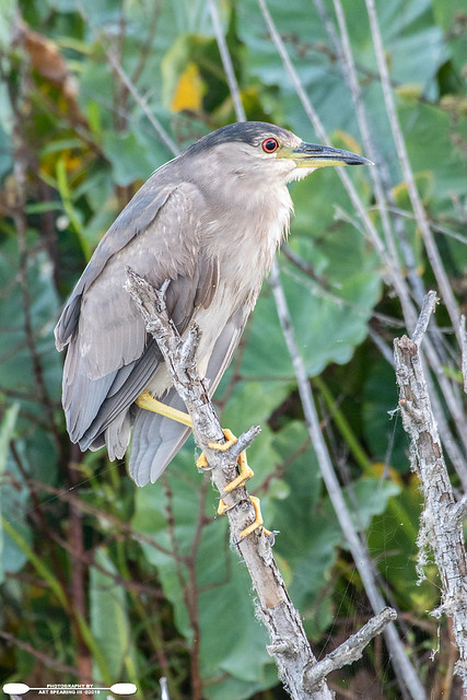 Apopka Black Crowned Night Heron