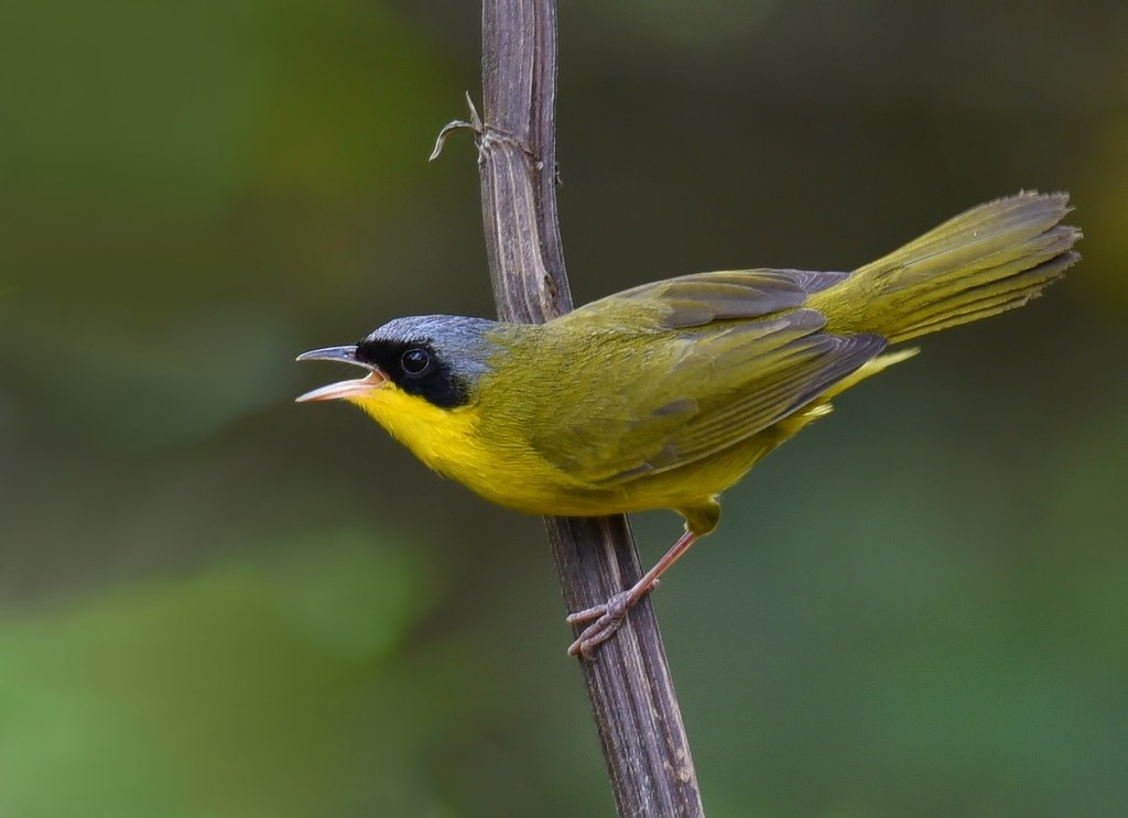 Pia-cobra / Masked Yellowthroat