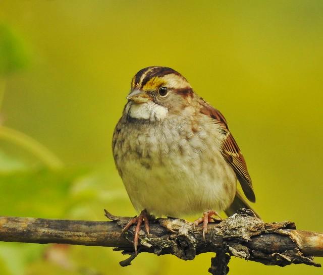Nikon P900, Sparrow, Bruant, Botanical Gardens, Montréal, 9 October 2019 (5)