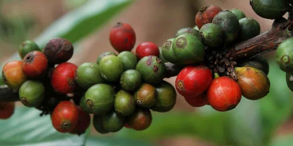 extrait-des-grains-de-café-contre-la-résistance-à-insuline