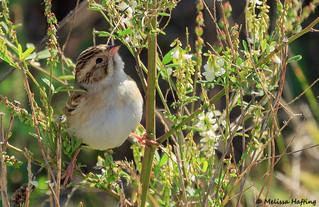 Clay-colored Sparrow (Spizella pallida) - Richmond, BC