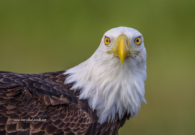 Face to Face Eagle