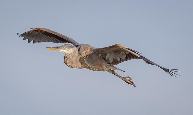 Great Blue Heron landing