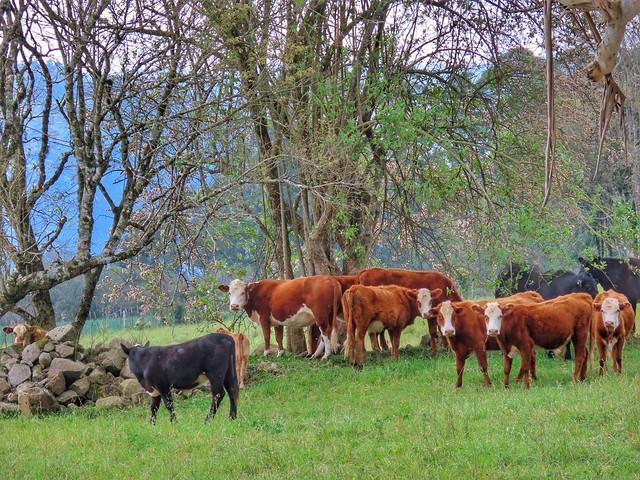 capão do gado
