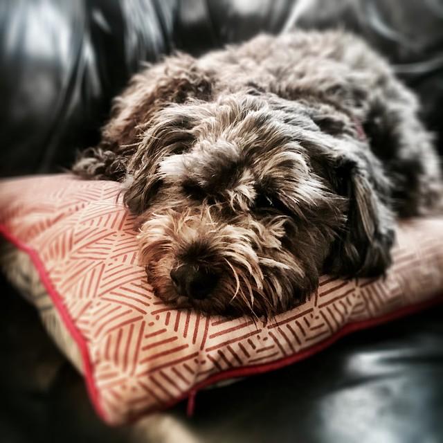 Jindi the Bordoodle on our cushion.