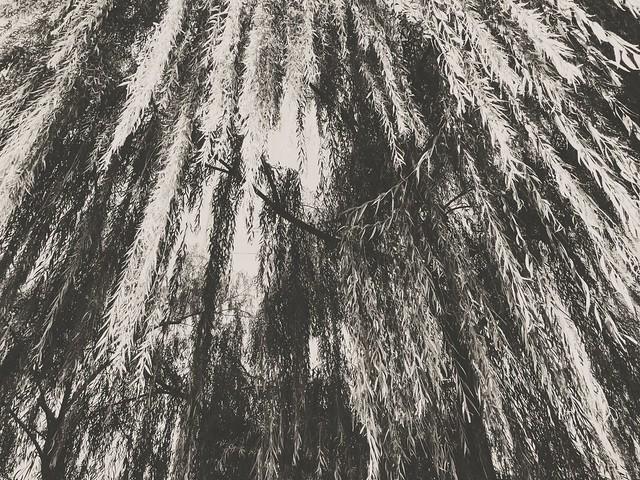 #weepingwillow #trees #washingtondc #dc #kennedycenter #gothicdc