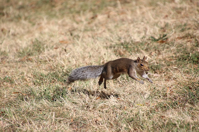 Eastern Grey Squirrels in Federal Hill Park (Baltimore, Maryland) - October 11th, 2019