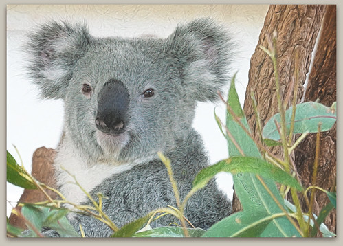 brisbane koala 016691 rx100m6 textures texturen texture textur ts2 topazstudio2 queensland lonepinekoalasanctuary animals tiere outdoor outside nature natur photoborder rahmen frame