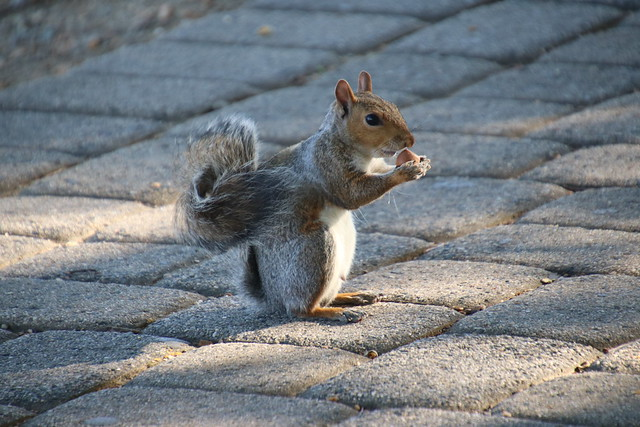 122/366/4139 (October 11, 2019) - Eastern Grey Squirrels in Federal Hill Park (Baltimore, Maryland) - October 11th, 2019